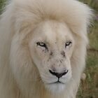 "White Lion Male "" Don`t come closer!"" by thula"