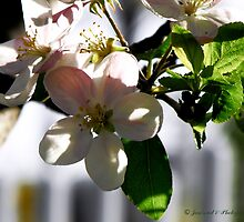 Apple Blossoms by Jan  Tribe