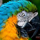 Blue and Gold Macaw by Julie Everhart