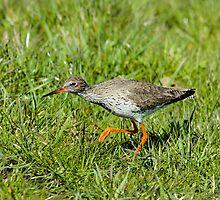 Hunting Redshank by Robert Abraham