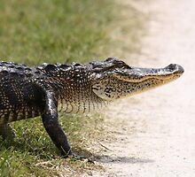 Alligator 5 by Howard & Rebecca Taylor