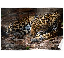 Jaguar Napping Poster