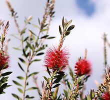 Bottlebrush by Kimberly Johnson