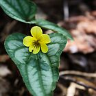 Halberd-Leaved Yellow Violet by Karen Kaleta