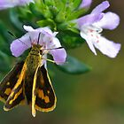 little skipper  by John  Spry