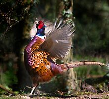 Flapping Pheasant by Carole Stevens
