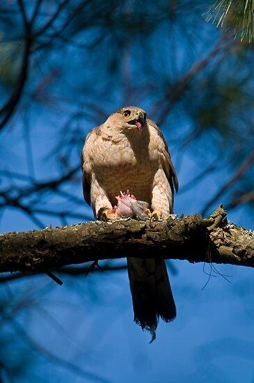 Feeding Cooper's Hawk by Daniel  Parent