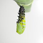 From Monarch Caterpiller to Pupa Stage by Molly  Kinsey