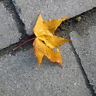 Autumn Leaf by imagio