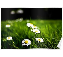 Daisies And Grass In The Spring Sunshine Poster