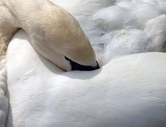Sleeping Swan by imagio