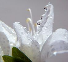 Raindrops on White Azalea by Gayle Dolinger