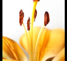 Yellow Tiger Lilly by nics-pics