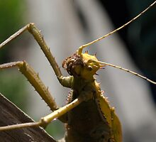 Malayan Walking Stick Stroll by Kathy Newton