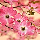 Dogwood Glory by Claudia Kuhn