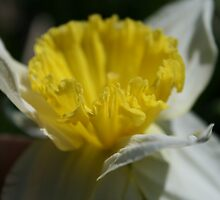 Daffodil Sunshine by Tammy F