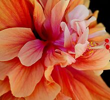 Double Orange Hibiscus 2 by TeAnne