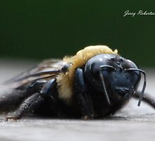 Female Carpenter Bee by zpawpaw