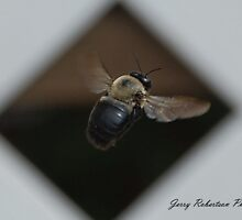 Flight of the Carpenter Bee by zpawpaw