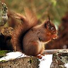 red squirrel  stunning little red head by Grandalf