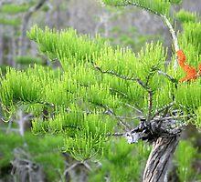 Dwarf Cypress Tree by Meredith Ward