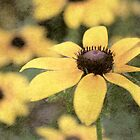 Black Eyed Susan by Darren Fisher