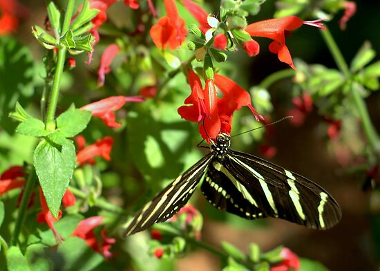 Zebra Longwing Butterfly by Diana Graves Photography