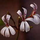 Pelargonium fragrans by Priska Wettstein