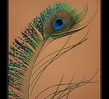 Colours of a Peacock by Cam Ayres