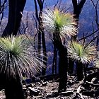 Grass trees after the fire by Fleur Stelling