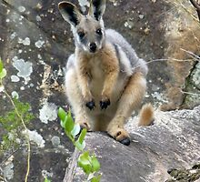Yellow-footed rock wallaby by Fran E.