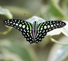 Green and black butterfly by rhallam