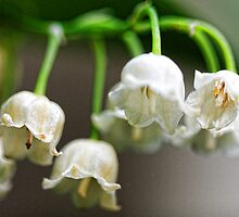 Lily-of-The-Valley - Bridgton,  Maine by T.J. Martin
