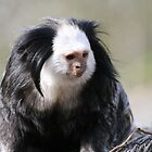 Marmoset by rhallam