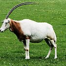 Scimitar horned oryx 5 by rhallam