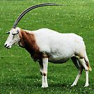 Scimitar horned oryx 6 by rhallam