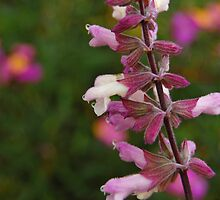 Salvia in Pastel by photojeanic