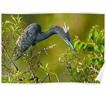 Tri Color Heron of Jefferson Island Poster