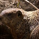 Groundhog by withacanon