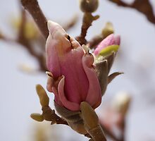 Birth of the Magnolia by Ralph Angelillo