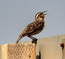 Melodious Lark by Larry Trupp