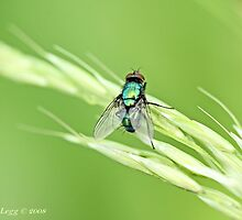 Green Bottle Fly, Lucilla  sericata  or silvarum by pogomcl