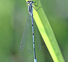 Azure Damselfly, coenagrion puella, clinging to a blade of grass. by pogomcl