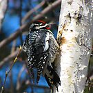THE WOODPECKER  by Marie  Morrison