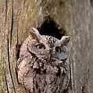 Eastern Screech Owl by Daniel  Parent