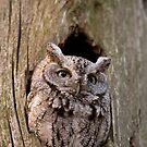 Eastern Screech Owl by Daniel  Parent