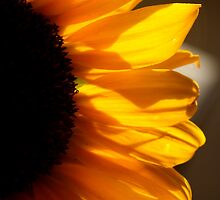 Sunflower, front-view by ShanaLynn