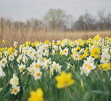Daffodil Heaven by mnkreations