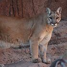 Mountain Lion by Kimberly Lusk