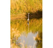 Reflection of a Great White Egret at Greenfields Wetlands Photographic Print